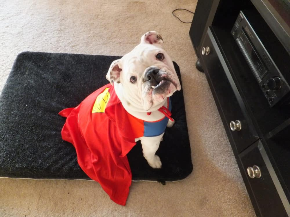 Superman Gus - Dogs with Social Anxiety