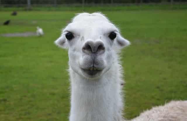 Cute little llama